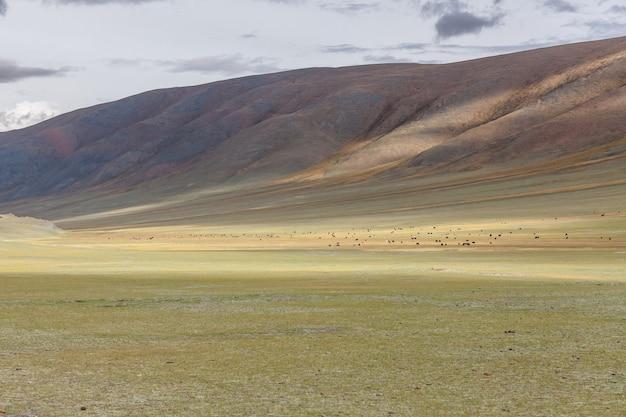 O animal de estimação na mongólia é o yak sarlag. um rebanho de iaques em uma pastagem