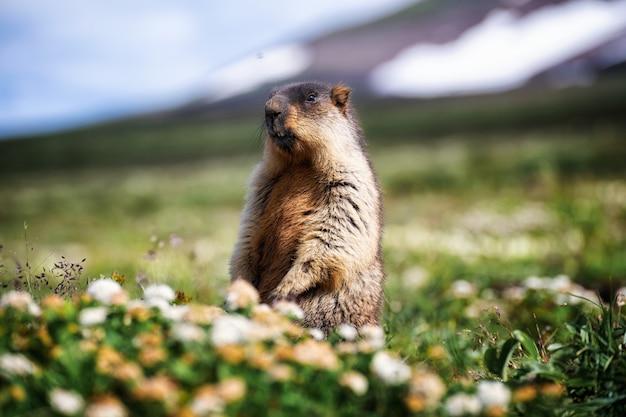 O animal se senta em um campo nas montanhas e observa o que está acontecendo ao redor