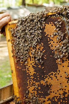 O apicultor cuida dos favos de mel