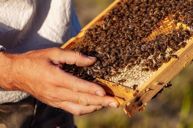 O apicultor segura uma cela de mel com abelhas nas mãos