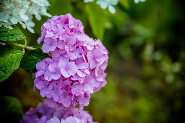 O arbusto bonito das flores da hortênsia, a hortênsia azul e roxa ou a hortensia florescem com as folhas verdes que florescem no jardim da mola. fundo da natureza. flores roxas, rosa, azuis no parque, rua. copie o espaço