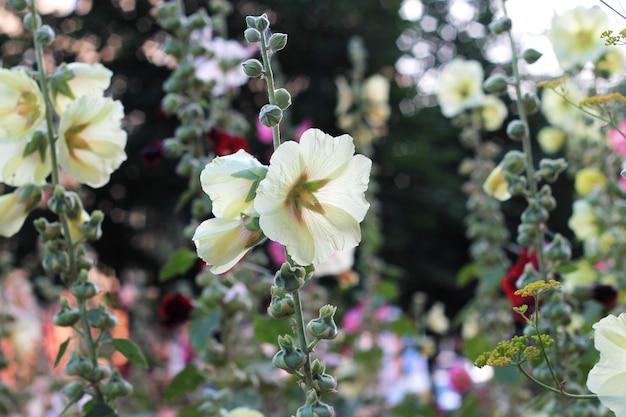 O arbusto da malva floresce no jardim do dia de verão.