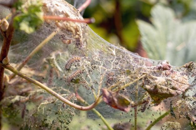 O arbusto de groselha está coberto de teias de aranha e lagartas. doenças das plantas de jardim