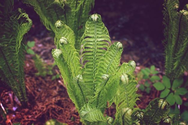 O arbusto de samambaia ainda não floresceu, o tom no estilo do instagram.