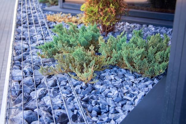 O arbusto de zimbro cresce em um canteiro de flores perto de um café na cidade
