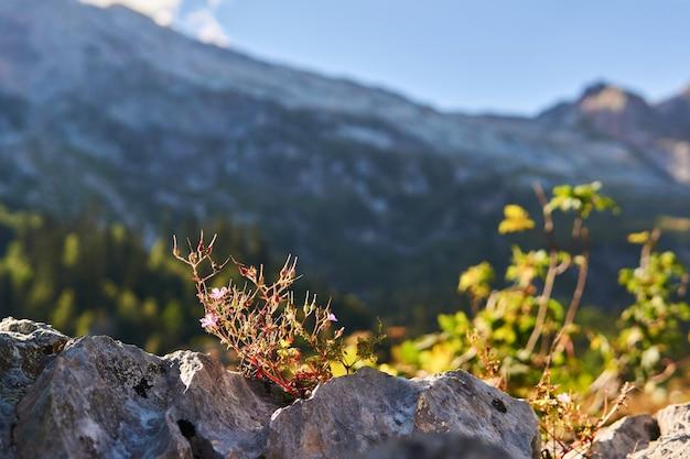 O arbusto em flor de gerânio roberts cresce em uma fenda de uma rocha contra um fundo de montanhas