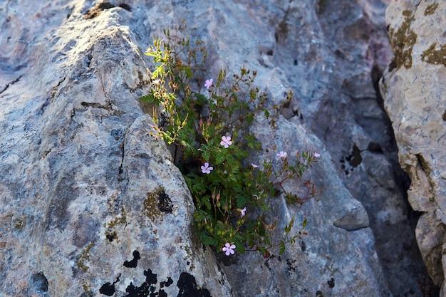 O arbusto em flor de gerânio roberts cresce na fenda de uma pedra à sombra de uma rocha