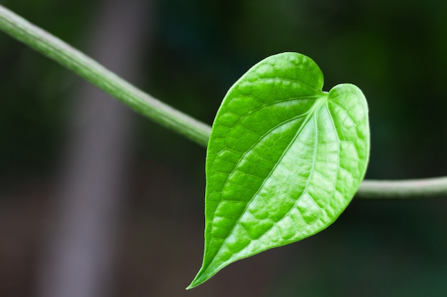 O arbusto selvagem verde da folha do bétel, coração deu forma à folha.