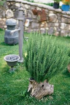 O arbusto verde cresce a partir de um velho toco perto de uma coluna de água