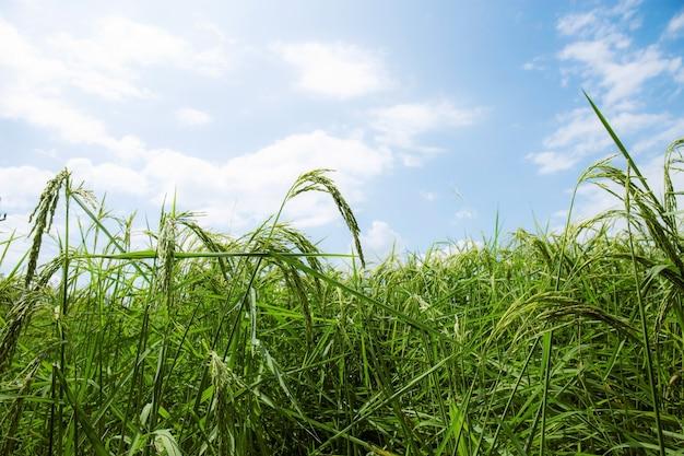 O arroz está começando a chegar ao campo com céu azul.