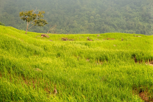 O arroz paddy arquivou o crescimento na paisagem do fundo da natureza da montanha.