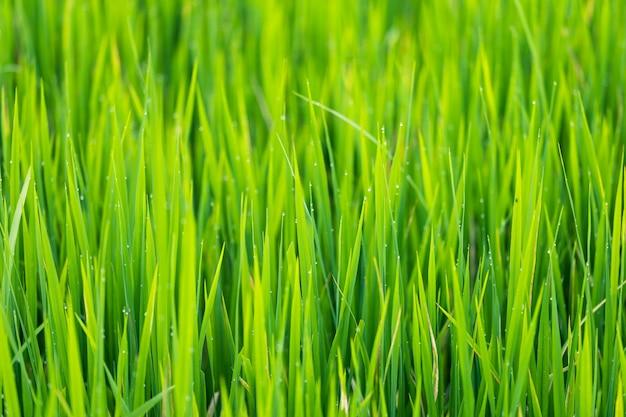 O arroz verde deixa campos com gotas de água em tailândia. grama verde fresca de primavera.