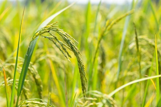 O arroz verde e as sementes são verdes-claros nos arrozais.