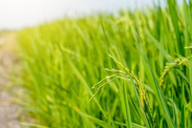 O arroz verde nos campos de arroz está esperando para ser colhido na tailândia.