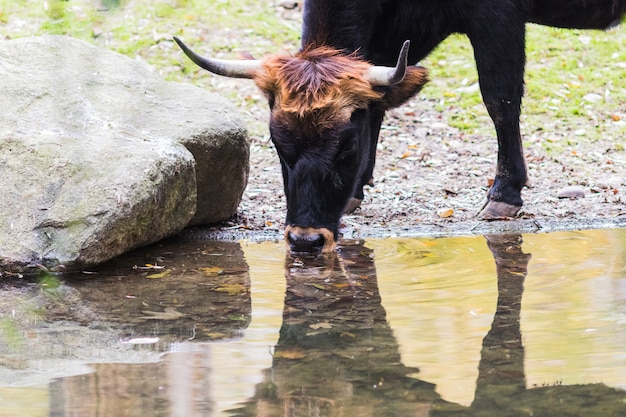 O auroch também urus (bos primigenius)
