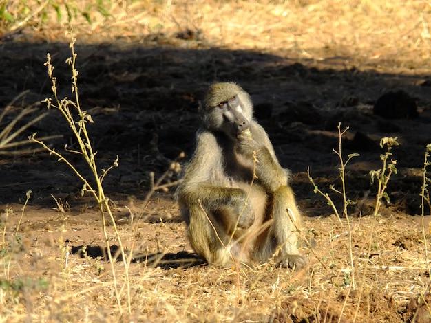 O babuíno no safari no parque nacional de chobe, botsuana, áfrica