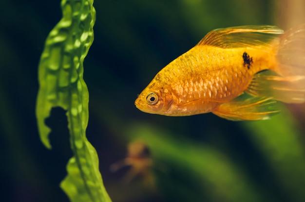 O barbus flutua no aquário em casa close-up