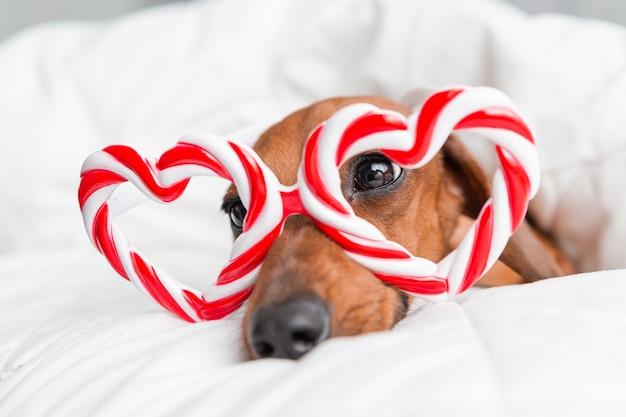 O bassê com óculos em forma de coração está deitado em uma cama com um cobertor de algodão branco em casa. conceito de dia dos namorados
