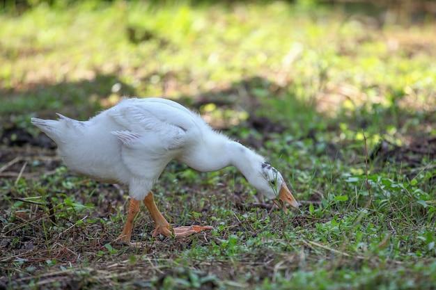 O bebê ganso está comendo grama no jardim