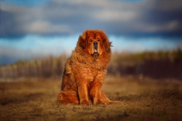 O belo mastiff tibetano, um grande cachorro vermelho, fica no meio da paisagem.