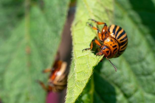 O besouro da batata do colorado come folhas de batata. pragas de insetos agrícolas.