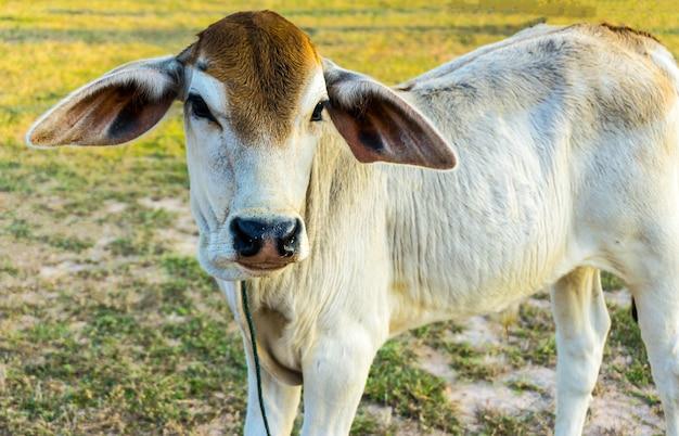 O bezerro de vaca branca no campo.