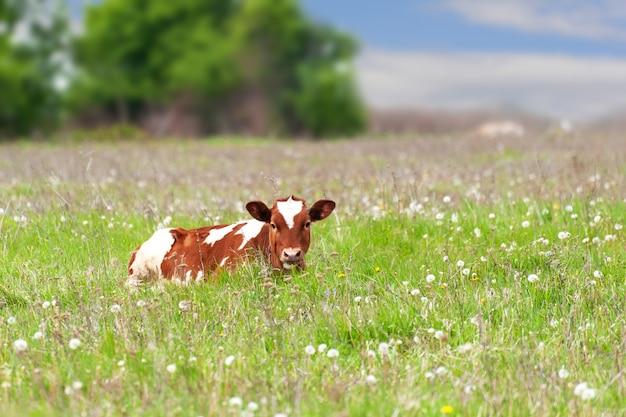 O bezerro é pastado em um prado, close-up. bezerro no pasto