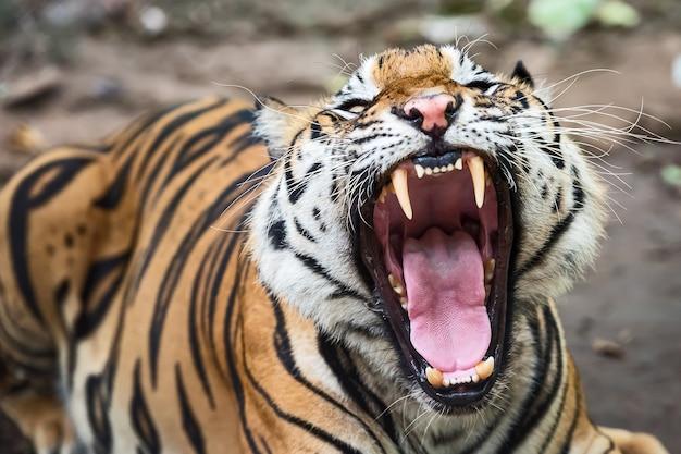 O bocejo do tigre mostra sonolência.