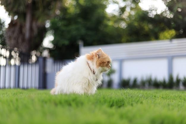 O bonito gato persa sentado no campo de grama verde e olhando algo, foco seletivo profundidade de campo