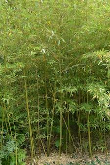 O bosque de bambu, bambu cresce no parque.