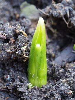 O broto brota no chão no início da primavera