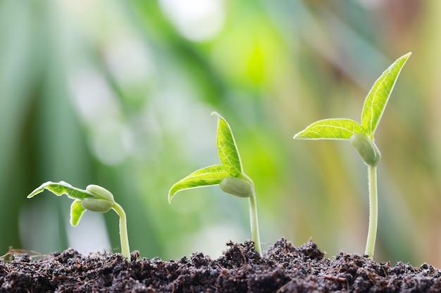 O broto de soja verde no solo no jardim vegetal e tem o fundo do bokeh da natureza.