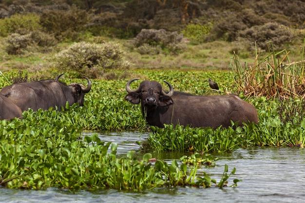 O búfalo na água come uma grama, um safári é a áfrica