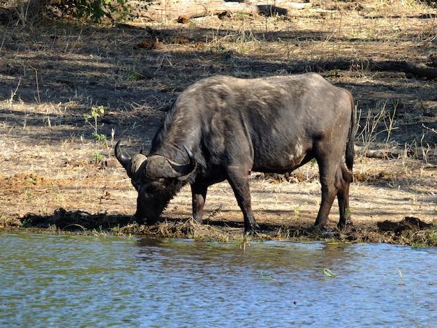 O búfalo na costa do rio zambeze, botsuana, áfrica