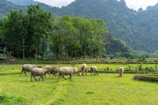 O búfalo no campo e a verdadeira beleza do estilo de vida da aldeia, o ar é fresco, mais próximo