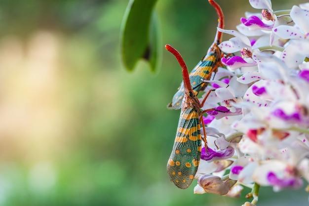 O bug fulgorid (planthopper) na flor.