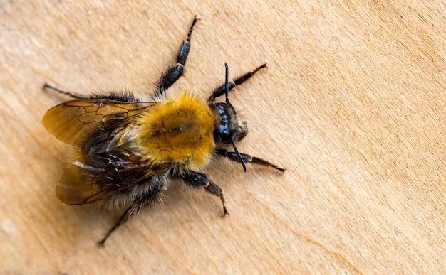 O bumblebee ou bumble bee (bombus terrestris) é um importante polinizador de plantações e flores silvestres.