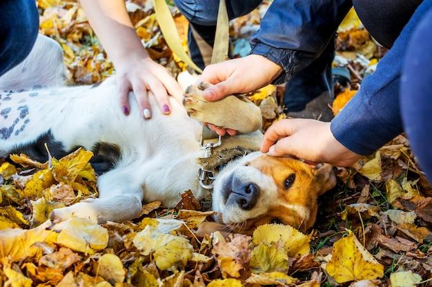 O cachorrinho das raças de um cão da estônia deitado nas folhas do outono e as mãos das crianças acariciam seus