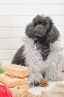O cachorrinho de um poodle com presentes de ano novo contra um fundo de parede de tijolos brancos
