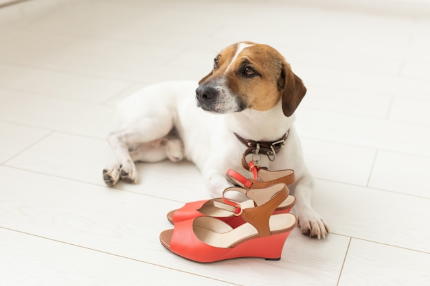 O cachorrinho jack russell terrier lamentavelmente está deitado ao lado dos sapatos vermelhos de sua dona. o conceito de animais de estimação leais. espaço de publicidade