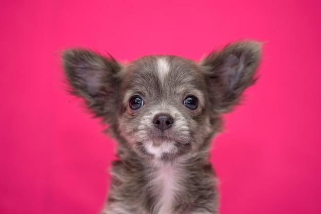 O cachorrinho ruivo bonito da chihuahua senta-se em um fundo carmesim.