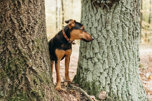 O cachorro alemão jagdterrier espia entre duas árvores na floresta