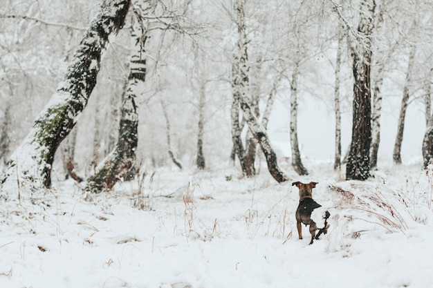 O cachorro anda na neve