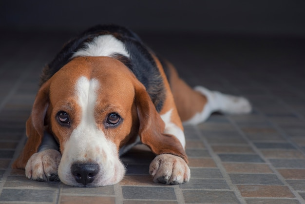 O cachorro beagle está sentado