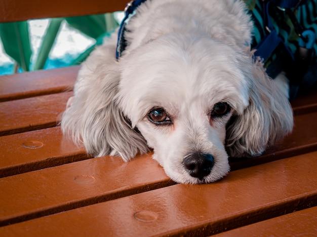 O cachorro branco