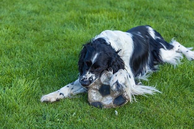O cachorro da raça cocker spaniel roe uma bola de futebol na grama verde, cocker spaniel preto e branco
