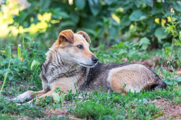 O cachorro deita no jardim na grama e olha para trás_