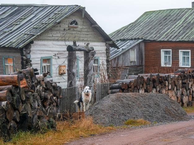 O cachorro do quintal está de guarda. vila autêntica na costa da baía de kandalaksha do mar branco. rússia.
