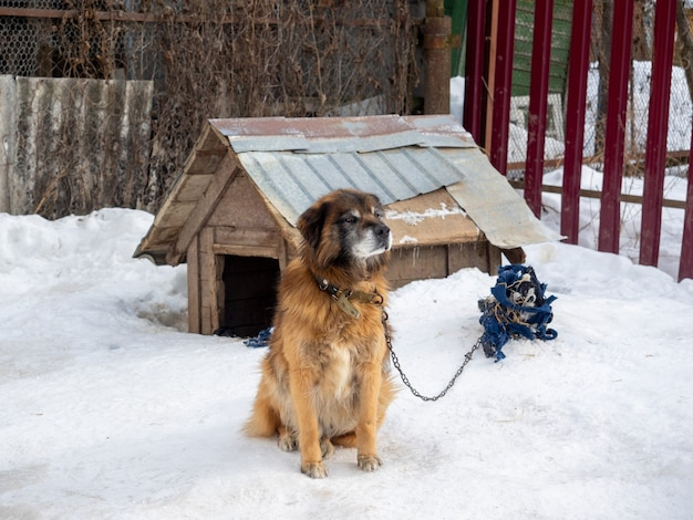 O cachorro do quintal fica perto do canil amarrado com uma corrente no inverno. cães, segurança doméstica