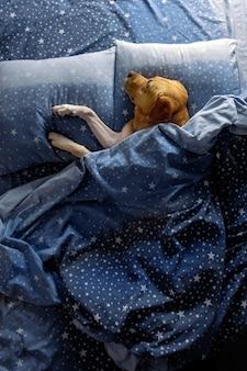 O cachorro dorme na cama sob um cobertor quente e aconchegante.